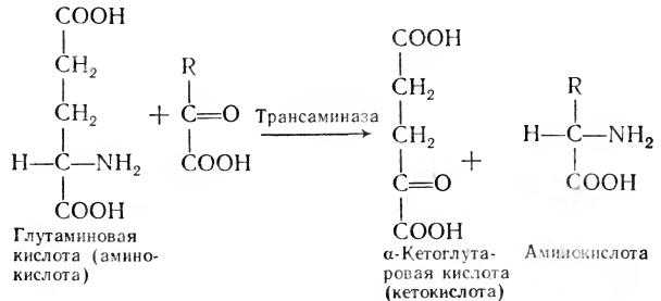 реакцию переаминирования,