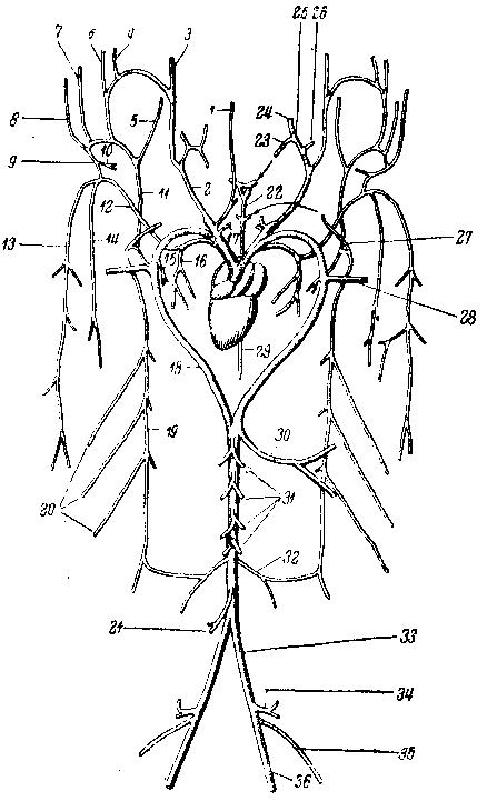 Схема артериальной системы