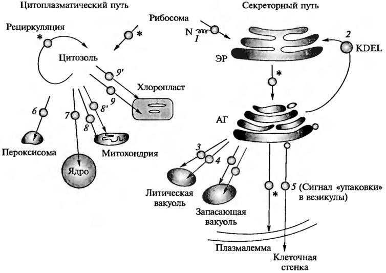 схема классификации органелл.