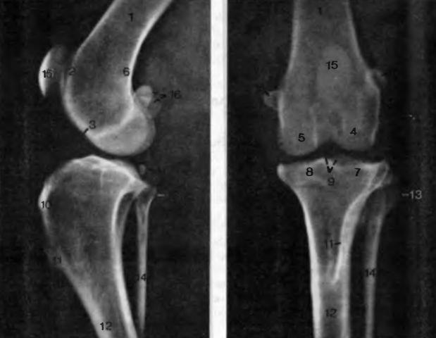 Коленный сустав кошки артрит суставов нижней челюсти
