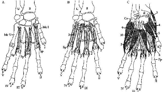 Запястный сустав кошки фото вращения рукой в локтевом суставе разминка