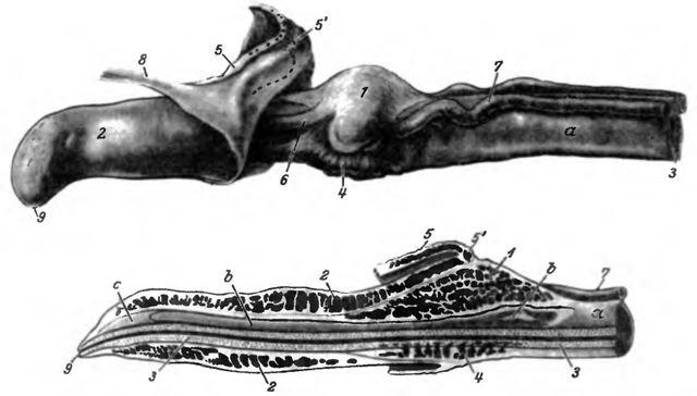 Головка полового члена кобеля, вид сбоку (вверху) и продольный разрез