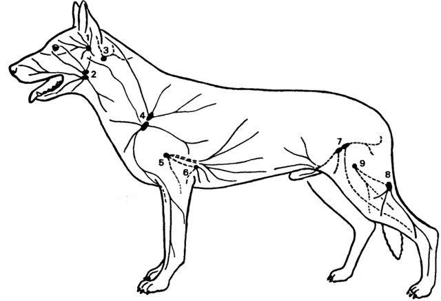 лимфатические узлы собаки,