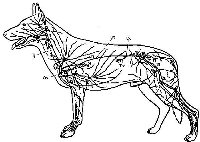 Общая схема лимфатических