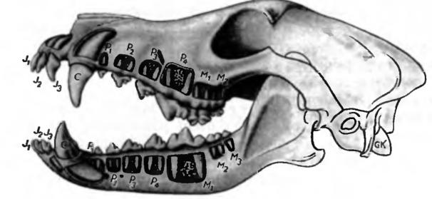 фото схема челюсти кошки что нехватку