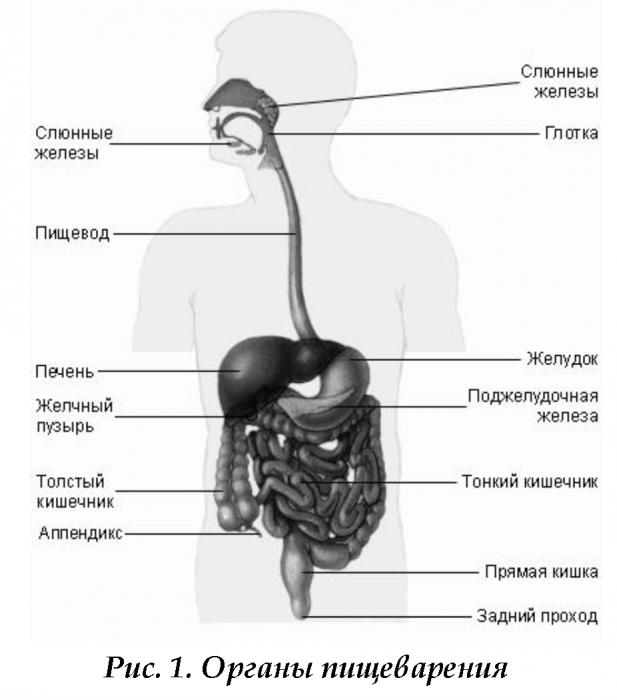 Пищевая система рисунок